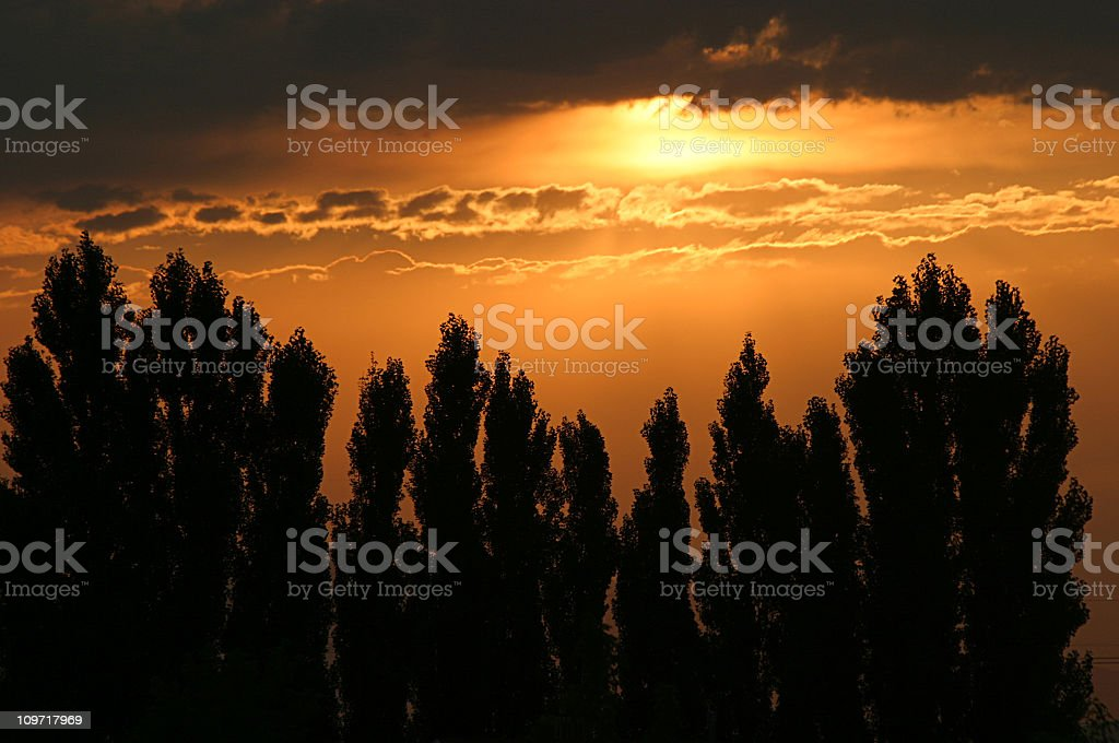 Golden Sunset Behind Row of Silhouetted Poplar Trees royalty-free stock photo