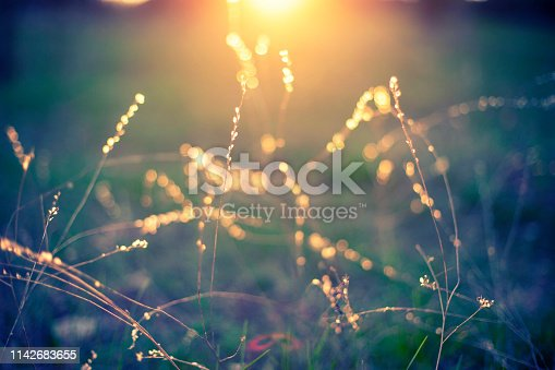 Wild grass close up in sunset