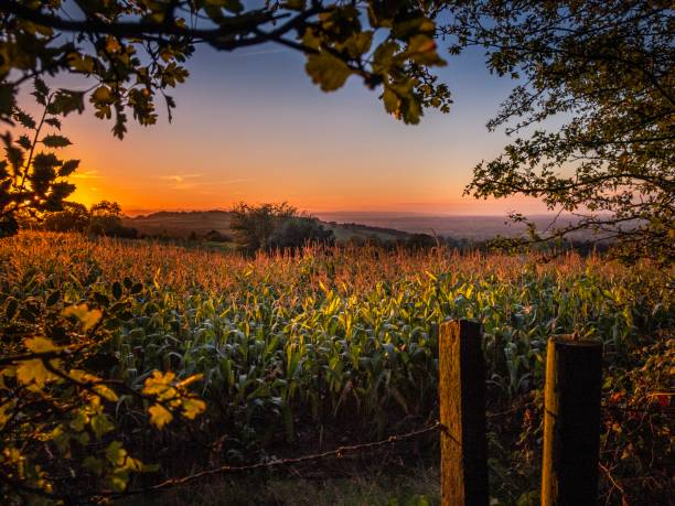 Golden sunset over a cornfield in Burwardsley, Cheshire stock photo