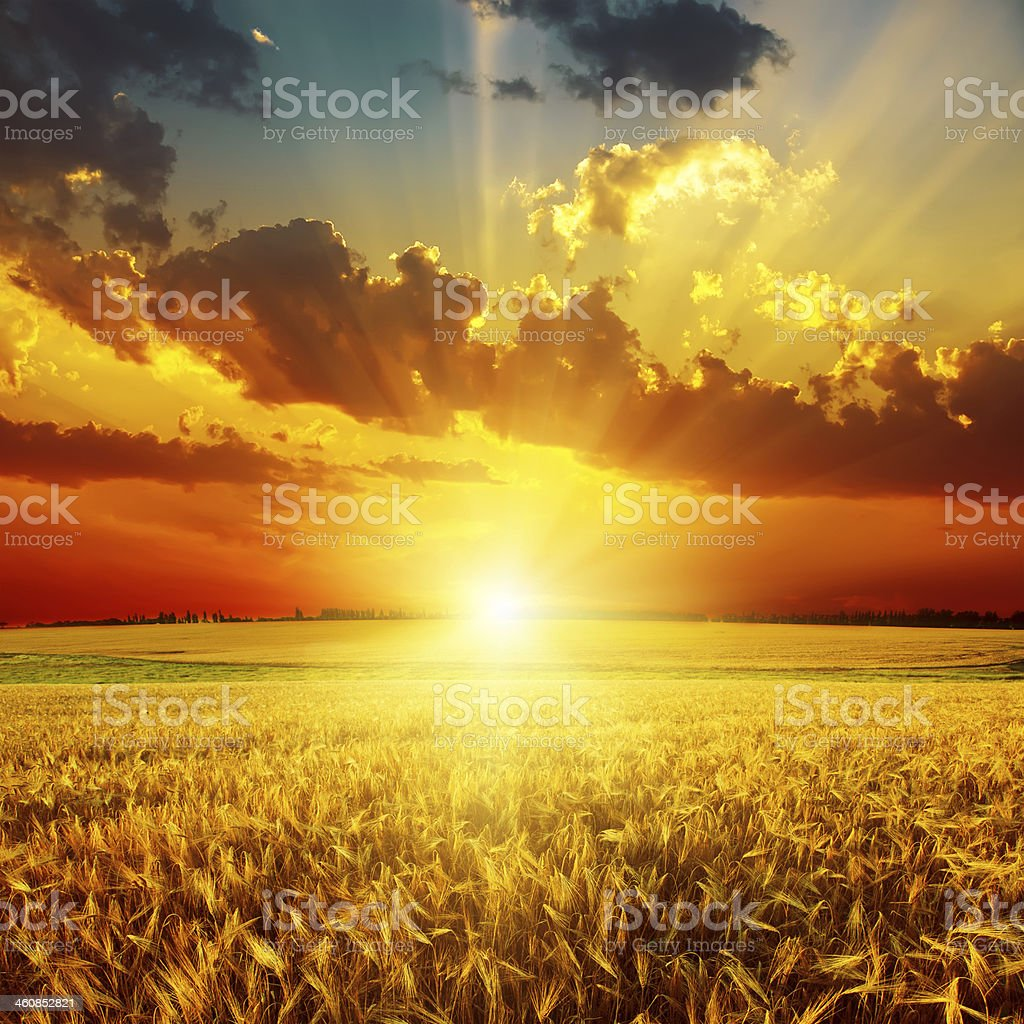 golden sunset over field stock photo