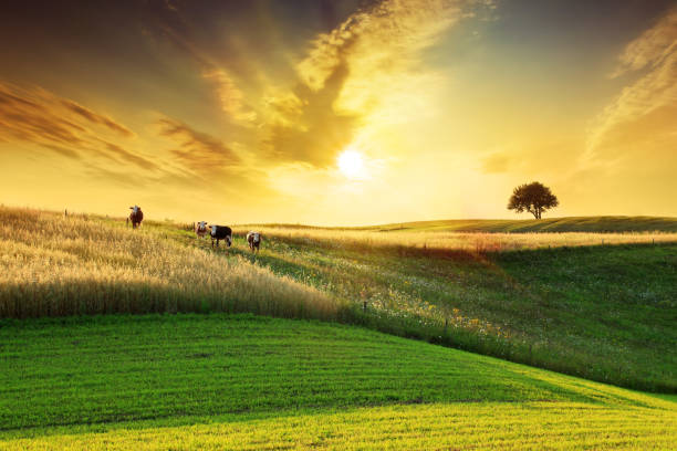Golden Sunset over Idyllic Farmland Landscape stock photo