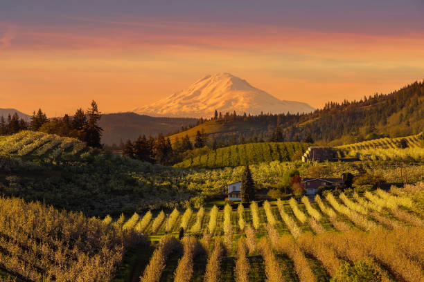 golden sunset over mount adams and hood river valley pear orchards springtime - frutteto foto e immagini stock