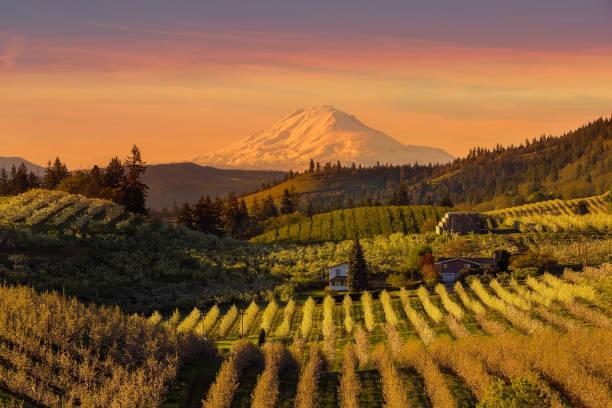 goldener sonnenuntergang über mount adams und hood river valley birne obstgärten frühling - obstgarten stock-fotos und bilder