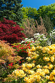 Botanical Garden of Gothenburg. Yellow Rhododendron in front is called Golden Sunset.