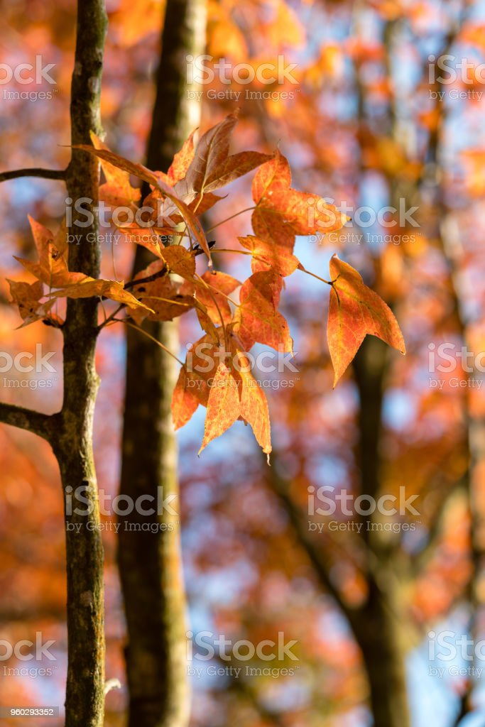 golden sweetgum leaves on the trees stock photo