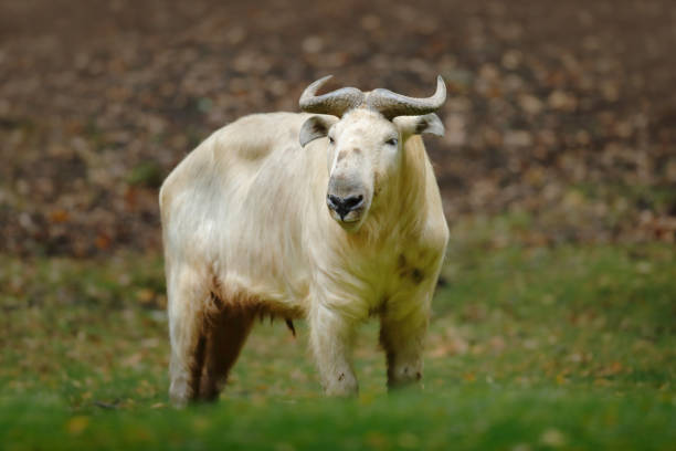 Golden takin, Budorcas taxicolor bedfordi, goat-antelope from Asia. Big animal in the nature habitat. Wildlife scene from nature. Wild bull from China. stock photo