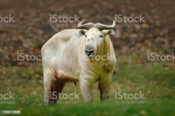 Photo of Golden takin, Budorcas taxicolor bedfordi, goat-antelope from Asia. Big animal in the nature habitat. Wildlife scene from nature. Wild bull from China.