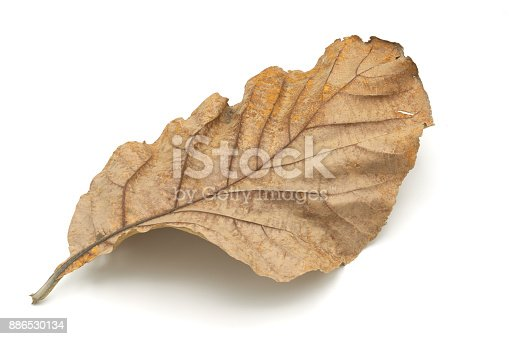 Golden teak leaf (Tectona grandis) .Leaves of golden teak fall from the deciduous to dry on the white background.