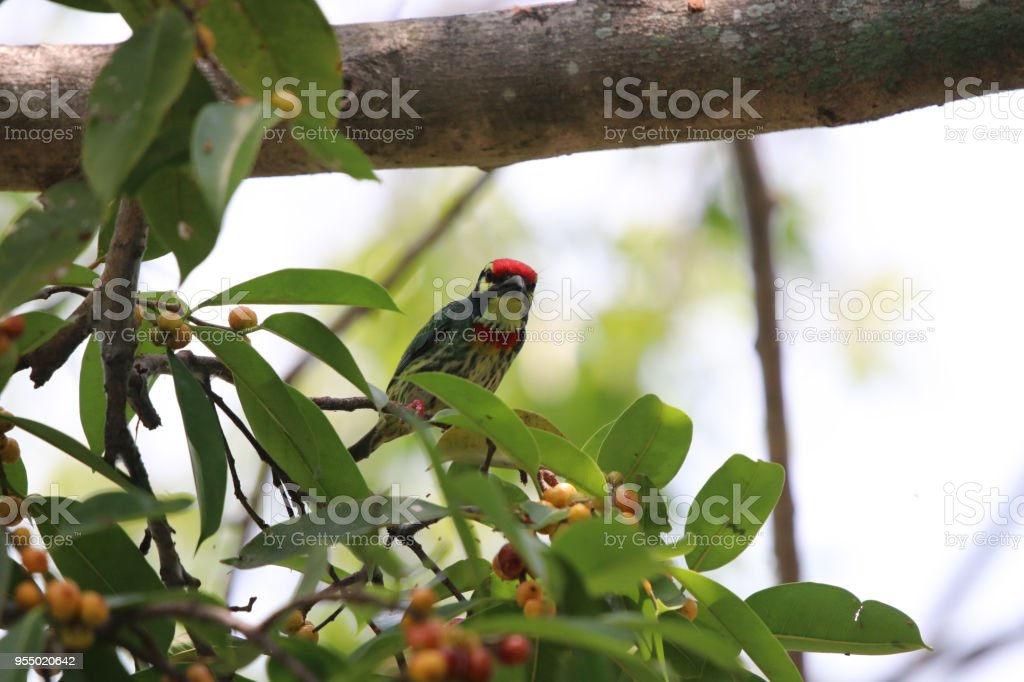 Golden throated barbet small bird colorful animal wildlife beautiful...