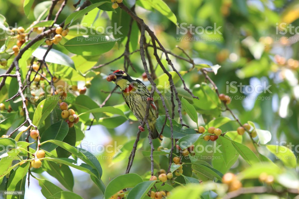 Golden throated barbet small bird colorful animal wildlife eating...