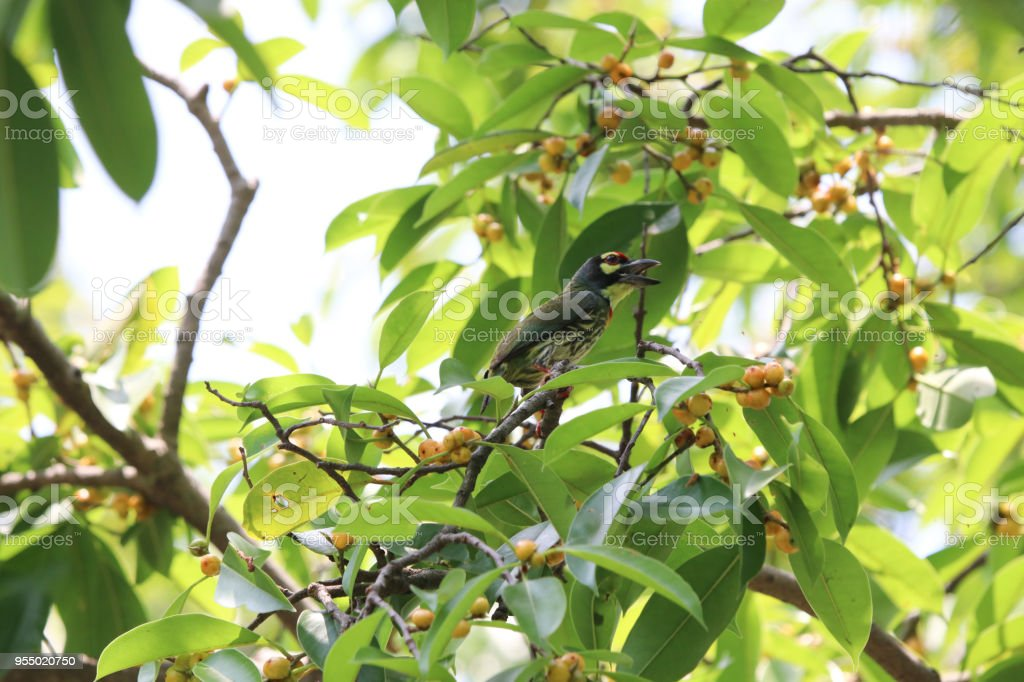 Golden throated barbet small bird colorful animal wildlife finding...