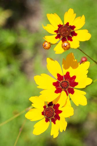 Close up of golden tickseed or plains coreopsis, Coreopsis tinctoria, growing in native habitat in Iowa.