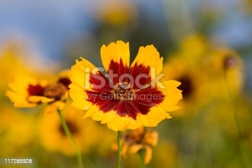 A beautiful late summer meadow in morning light with Coreopsis tinctoria in the foreground.
