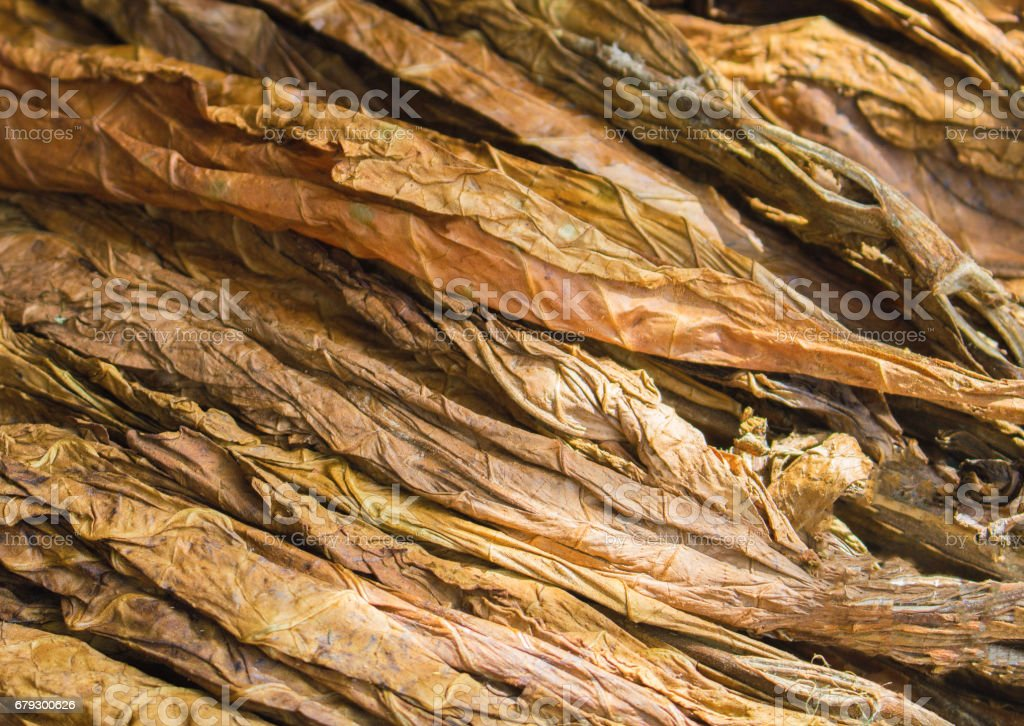 Golden tobacco leaves. stock photo