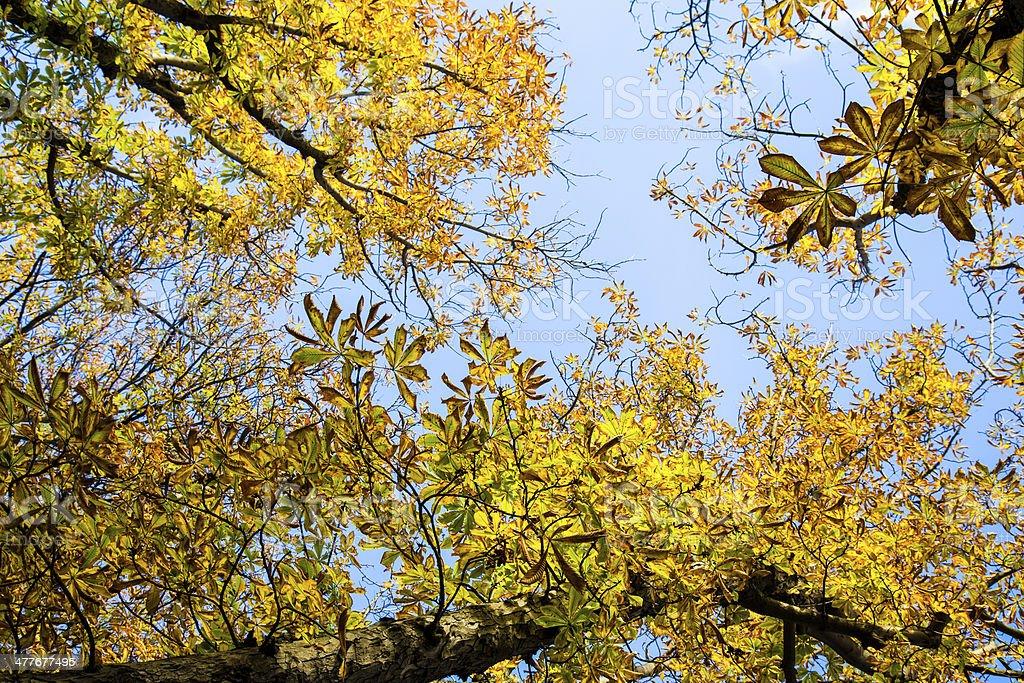 Golden tree canopy royalty-free stock photo