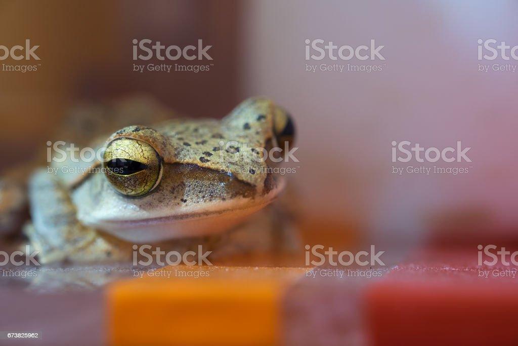 Golden Tree Frog ou grenouille jaune en Thaïlande - Close up - Macro - (mise au point sélective) photo libre de droits