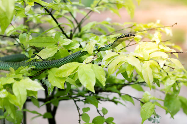 golden tree snake on leave of tree - snake strike stock photos and pictures