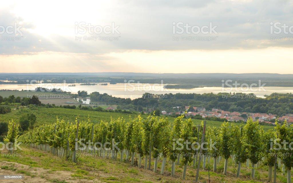 Golden vines at sunset - foto stock