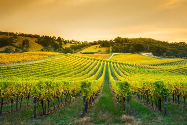 Golden Vines stock photo