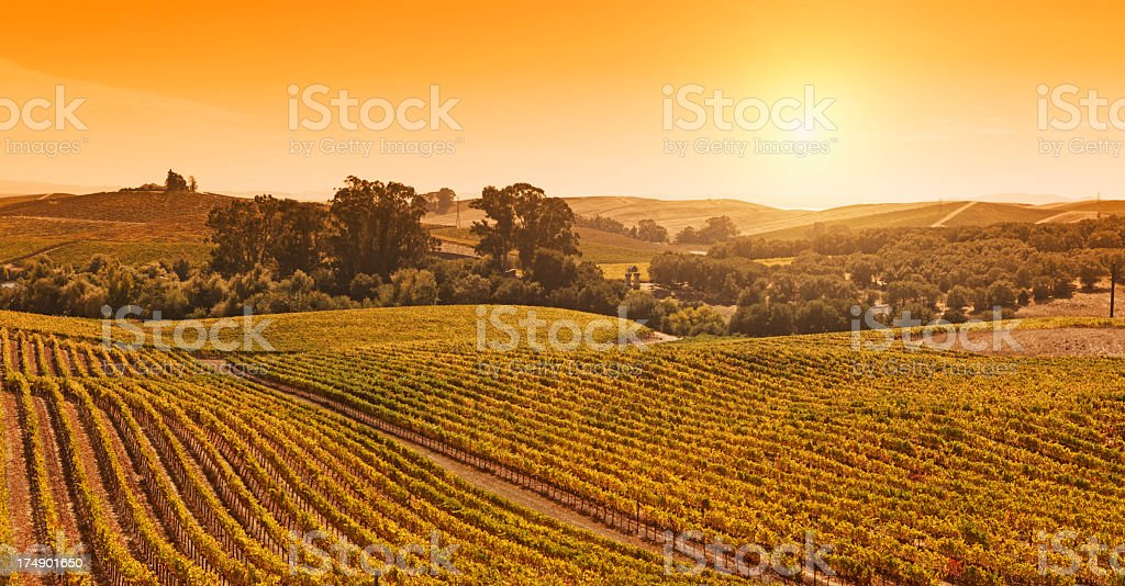 Golden vineyard stock photo