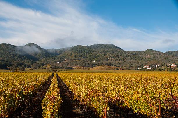 golden weinberge im herbst nahe yountville kalifornische napa valley - robert weinberg stock-fotos und bilder