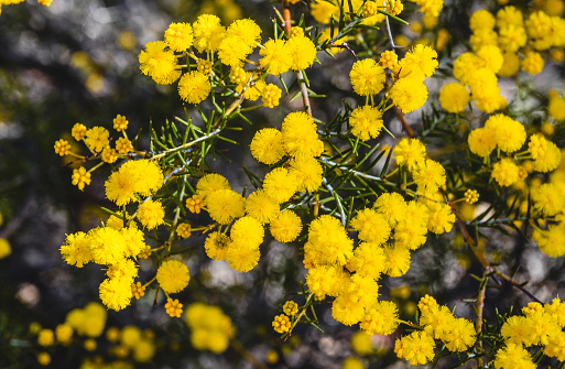 Golden Wattle Bloom