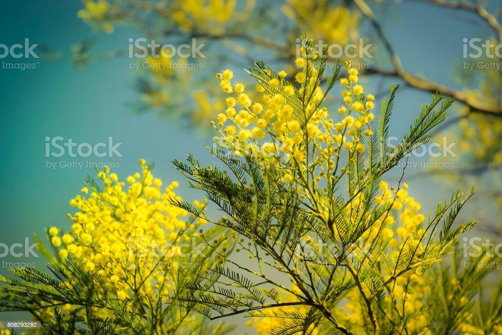 Golden wattle stock photo
