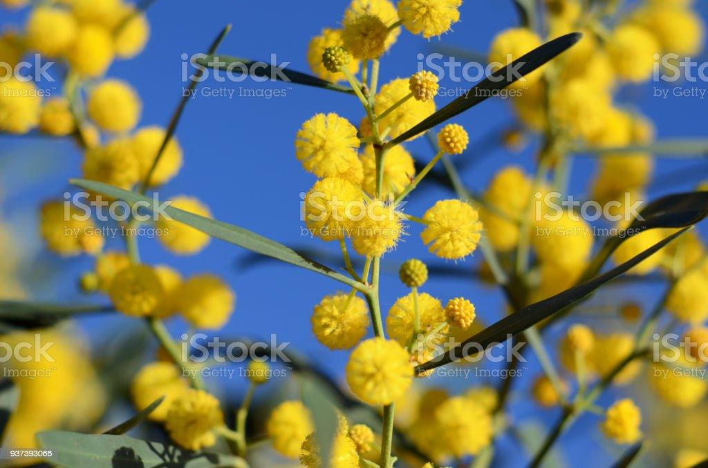 Golden Wattle Tree Acacia Pycnantha Yellow Mimosa Bright Flowers