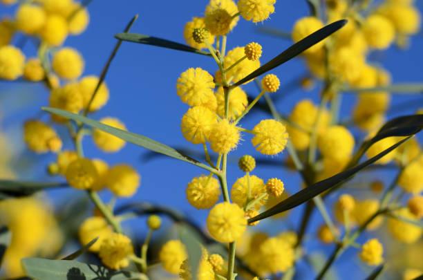 golden wattle tree acacia pycnantha yellow mimosa bright flowers - immagini mimosa 8 marzo foto e immagini stock