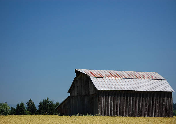 Golden Wheat and a Barn stock photo
