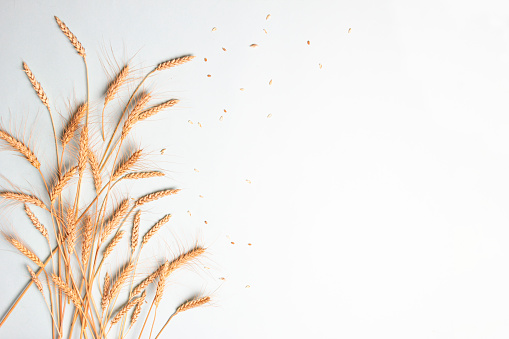 Golden wheat and rye ears, dry yellow cereals spikelets on light blue background, closeup, copy space