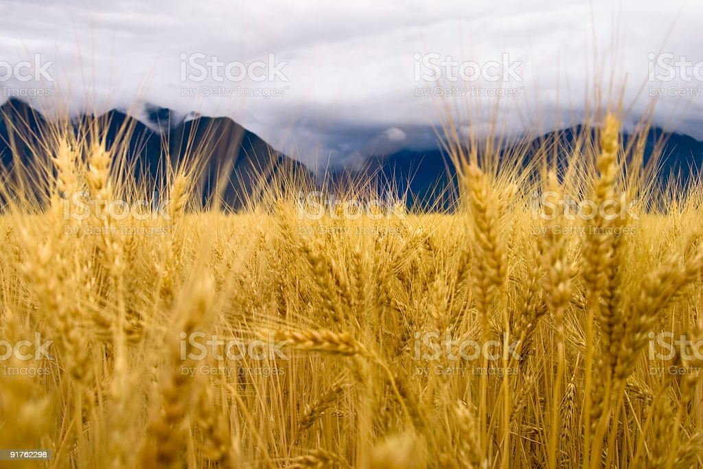 Golden Wheat and the Rocky Mountains stock photo