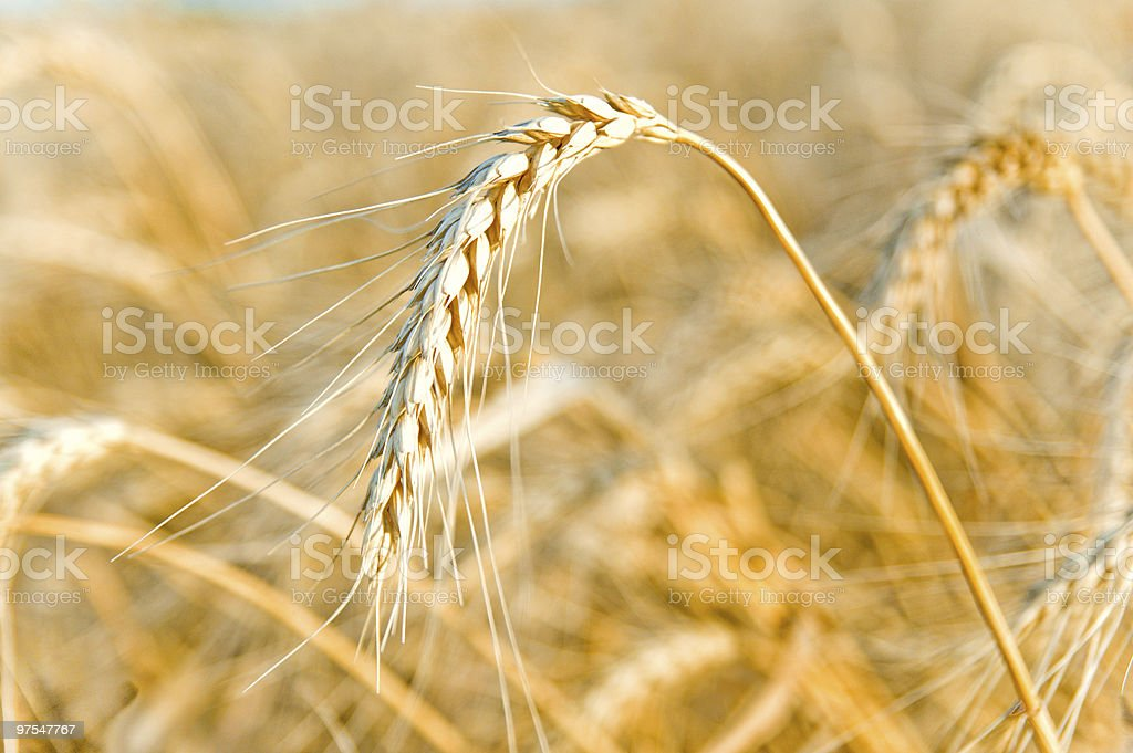 golden wheat ear royalty-free stock photo