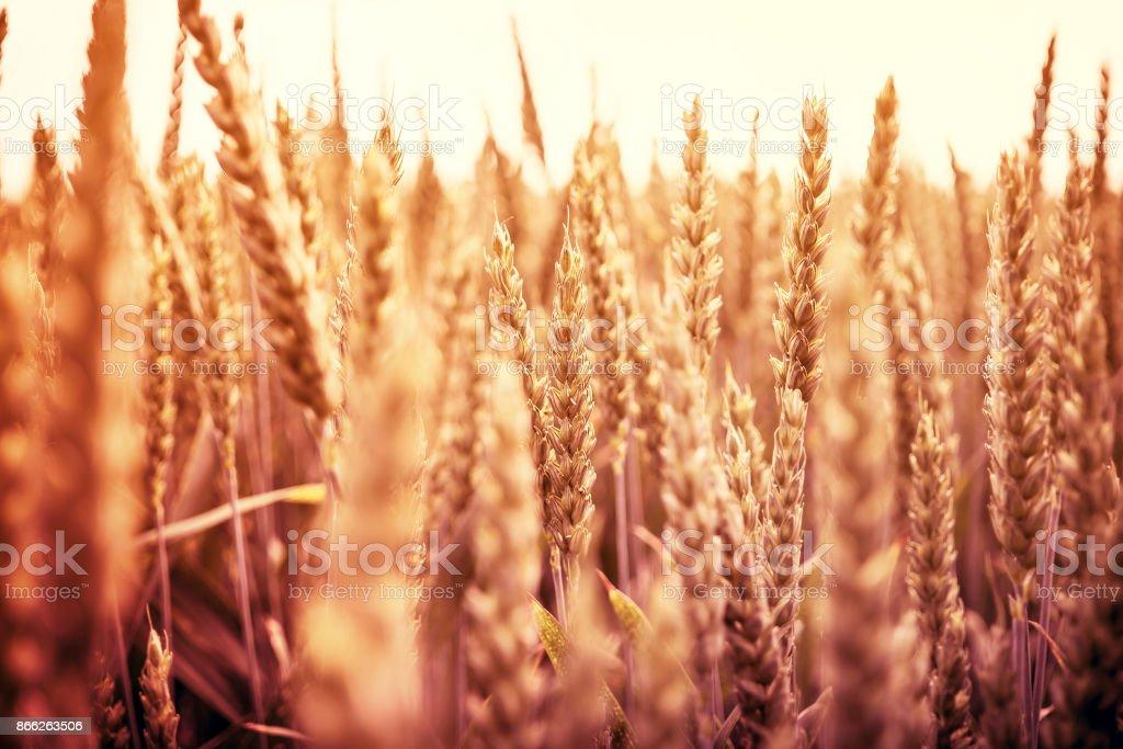 Golden wheat ears on morning sun stock photo