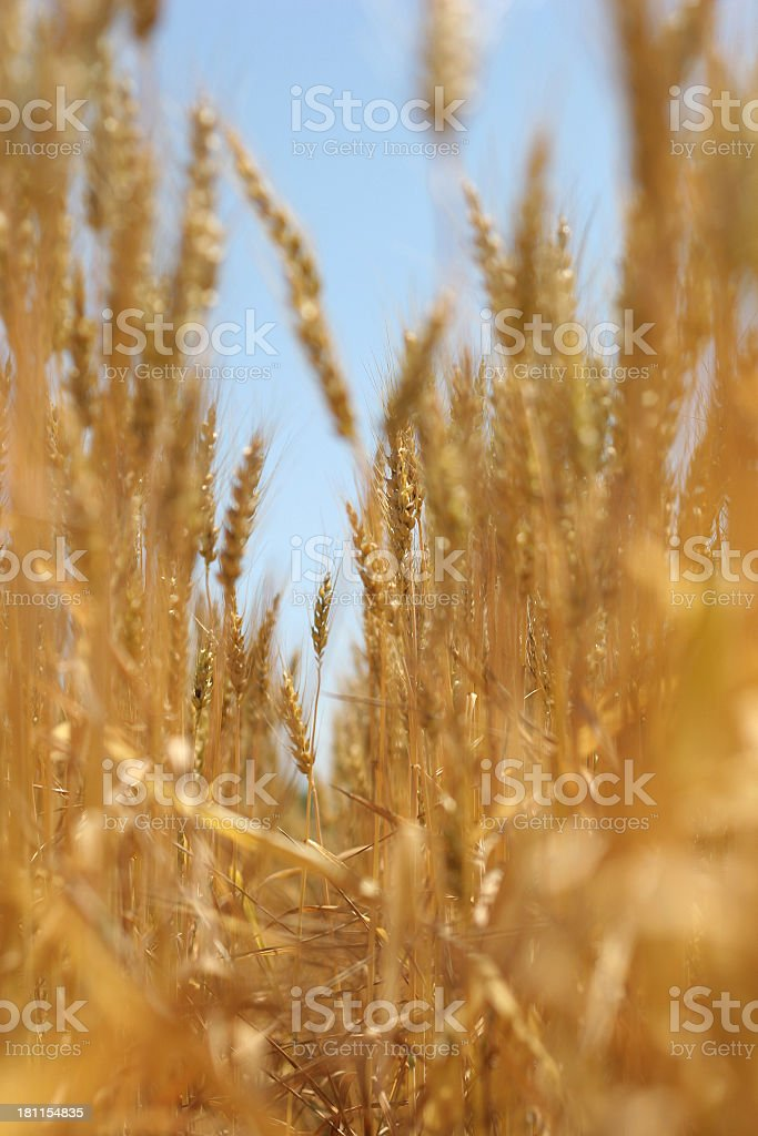 Golden Wheat Field - 05 royalty-free stock photo