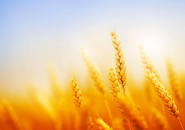 golden wheat field against blue sky golden wheat field close-up against blue sky oat crop stock pictures, royalty-free photos & images