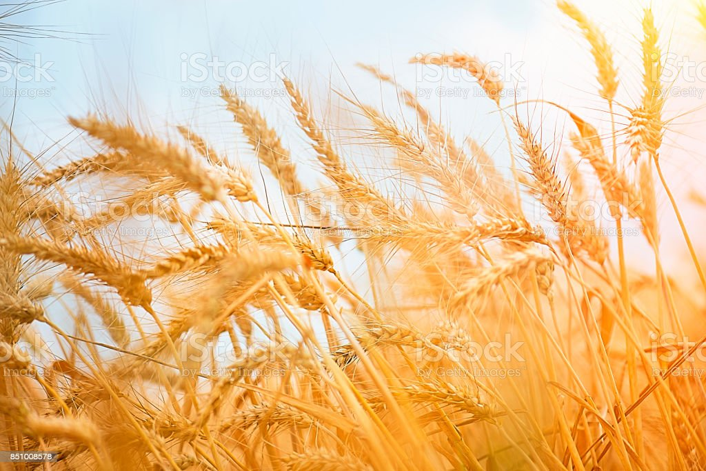 Golden Wheat Field Against Clear Sky stock photo
