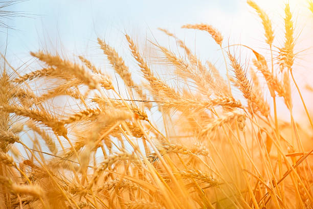 Golden Wheat Field Against Clear Sky Golden Wheat Field oat crop stock pictures, royalty-free photos & images