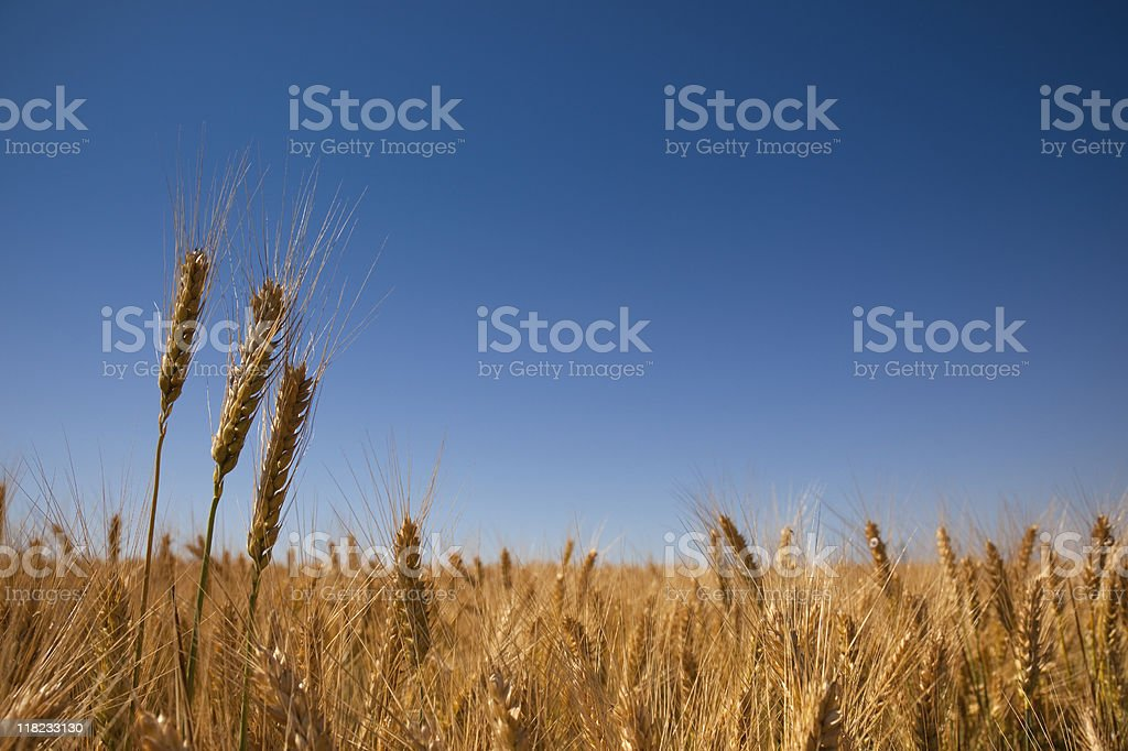 golden wheat field and blue sky royalty-free stock photo