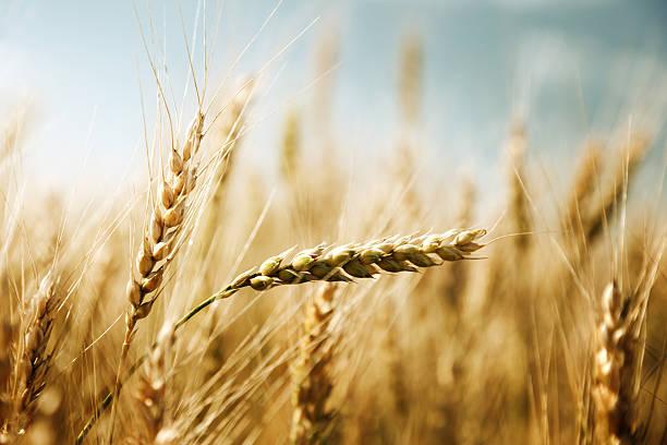 golden wheat field und sonnigen Tag – Foto