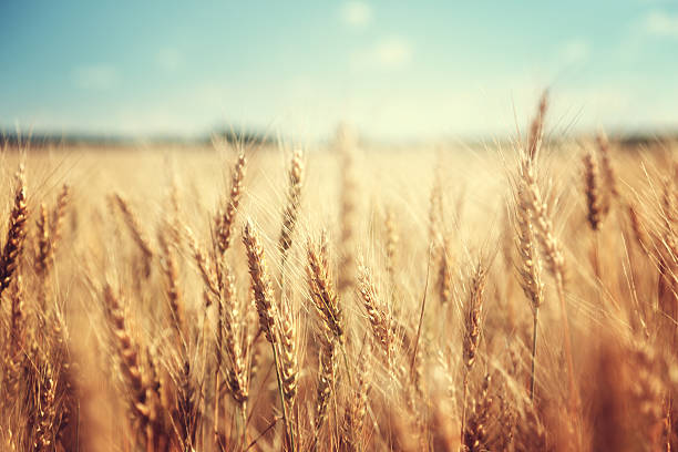 golden wheat field and sunny day golden wheat field and sunny day wheat stock pictures, royalty-free photos & images