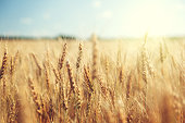 istock golden wheat field and sunny day 508908231