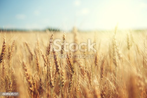 golden wheat field and sunny day