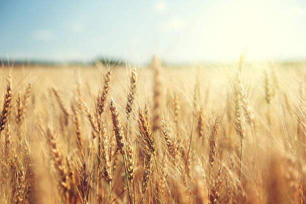 golden wheat field and sunny day - gewas stockfoto's en -beelden