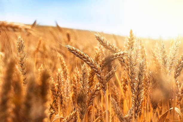 golden wheat field and sunny day - field stock photos and pictures