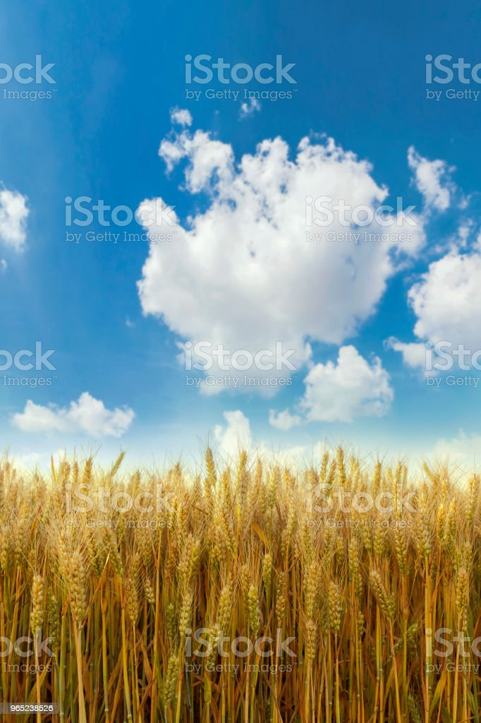Golden wheat field and sunny day royalty-free stock photo