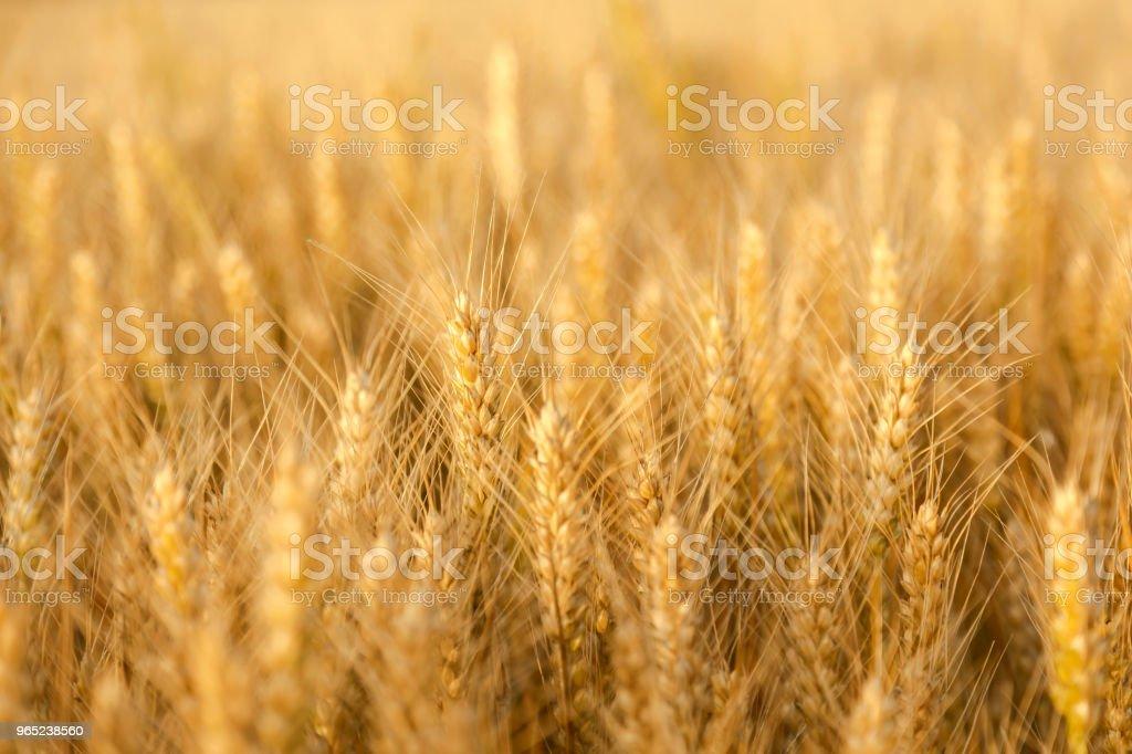 Golden wheat field and sunny day zbiór zdjęć royalty-free
