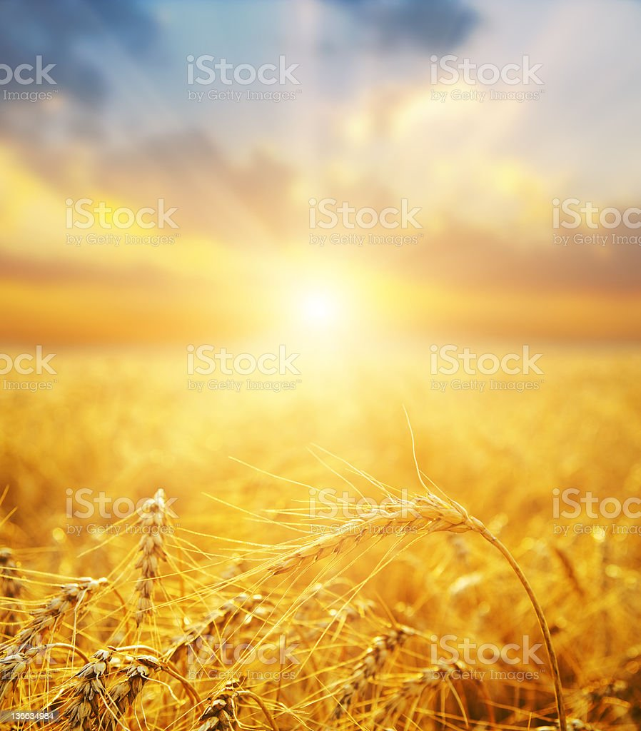 golden wheat field and sunset stock photo