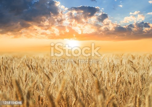 golden wheat field at the sunset, agricultural scene