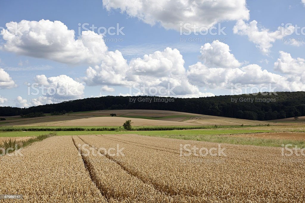 golden wheat field clouds blue sky sunny green grass tree royalty-free stock photo
